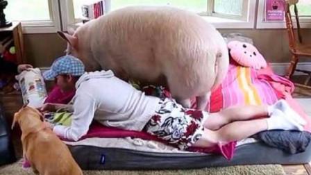 23岁小伙不顾家人反对,娶一头母猪为妻,婚后生活让人不敢相信