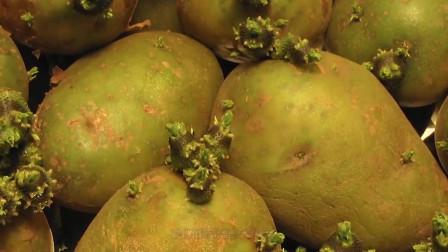 发芽土豆真的不能吃吗?以前一直不知道,看完快告诉家里人