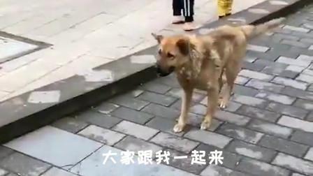 搞笑动物视频:这狗子是嗨了一夜,停不下来吗?二哈:嗨不动了!