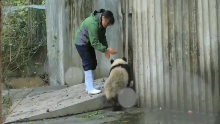 熊猫是听得懂四川话的!不信你看!