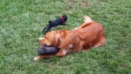传说中的傻狗,走路摔倒是日常,犯二更是司空见惯