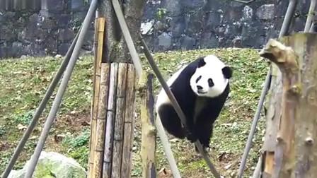 熊猫:真正的功夫熊猫,这技能一般的熊都不会