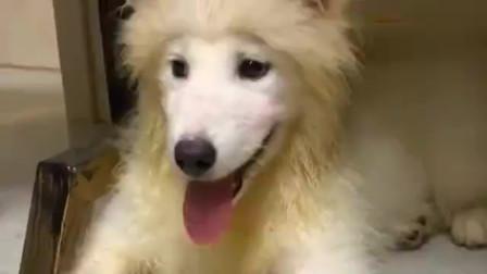 我想知道你这毛是怎么了,这狗啃过的发型,不愧是二哈干的