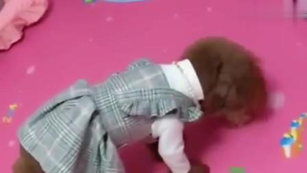 主人出去一会就哭的满脸湿,泰迪艾米像个小孩子,简直成精了!