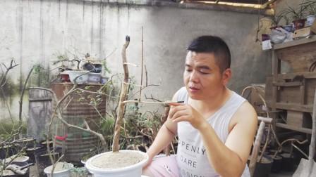 农村小伙种的金银花树桩,10天不到就发芽了,网友却质疑种不活