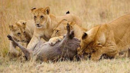 饥饿狮群掏疣猪洞捕获疣猪,几头雄狮瞬间将疣猪分食殆尽