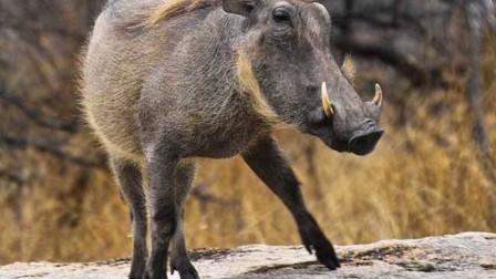 来看看简直无情公狮猎杀疣猪,疣猪的内心是崩溃的