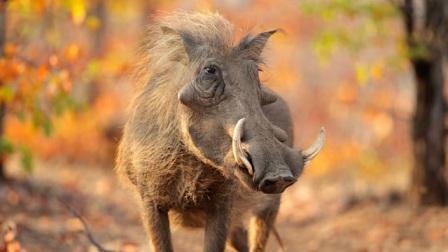 向美食下跪,疣猪的进餐方式暴露吃货之心