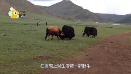 """雪原狼追捕落单野牛,野牛爆发将狼""""反杀"""",镜头拍下全过程"""