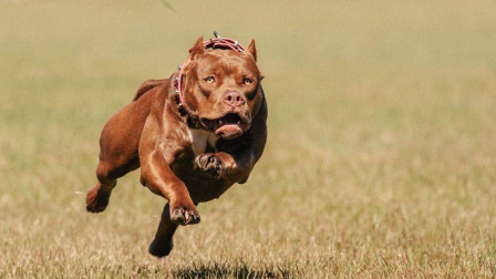 全球战斗力最强的猛犬,比狮子老虎更凶残,看完后心服口服