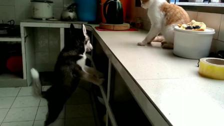橘貓和哈士奇打鬧,二哈太慫打架就沒有贏過