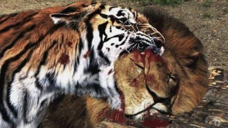 非洲虎啸,看完之后还敢吹狮子无敌嘛,要到非洲狮子得灭绝了!