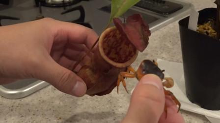 能捕食老鼠的猪笼草,将螃蟹放进去7天会怎样?小编:两败俱伤!