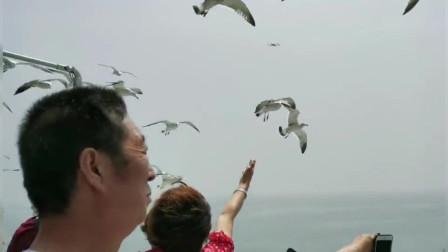 被惯坏的山东烟台长岛海鸥!追着轮船要吃的,只吃火腿肠很少吃面包