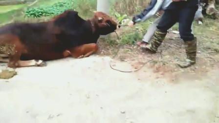 农村又要杀牛了,看到眼前这一幕,实在是太让人心痛了!