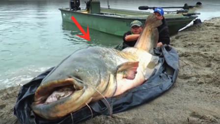 200多斤的大鲶鱼被钓上来,要不是视频,谁会相信