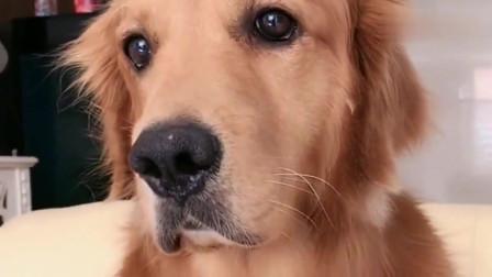 主人跟金毛说外面有狗骂它,狗狗的反应太意外了!太搞笑了!