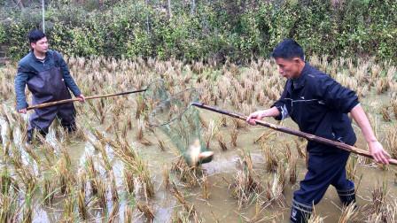 广东农村稻田里养的草鱼,比贵州稻花鱼要好吃,一般人吃不到!