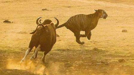 印度水牛和白肢水牛的巅峰对决!这种水牛连老虎都怕