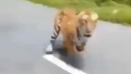 惊险,印度两男子骑着摩托车被野生老虎狂追