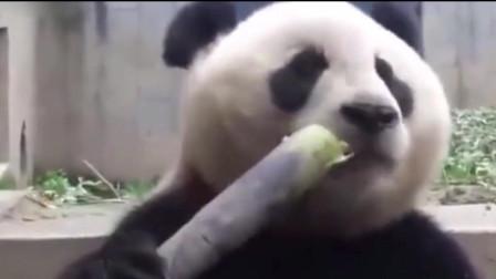 熊猫咬一口竹笋耳朵就在晃,太像假耳朵了吧