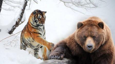 解析阿拉斯加熊与东北虎,两者之间的距离到底有多大?