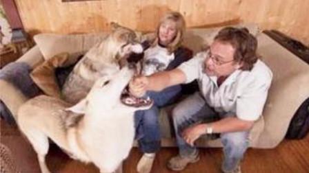 一头母狼受伤,带回家被狗狗看上了,生下宝宝让主人大吃一惊!