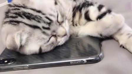 小猫咪枕着手机打瞌睡,突然来电话,反应太可爱了