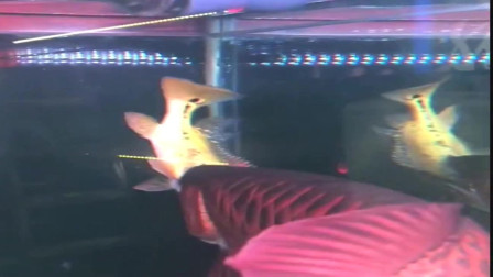混养龙鱼需注意的点,一定要记住大师的话,否则哭都来不及!