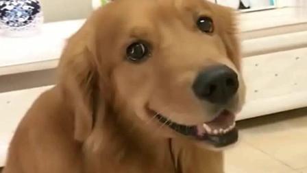 萌宠:主人忽悠轮胎说有狗狗找它玩,轮胎赶紧去窗台上看看,太可爱了