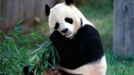 如果熊猫伤人会不会击毙熊猫?说出来你都不敢相信