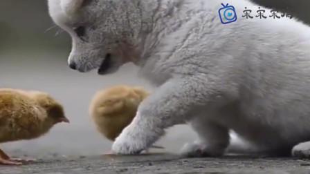 小奶狗,想咬却下不去口,萌翻了