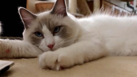 布偶猫:沉迷电子游戏可不是两脚兽的专利,偶们喵星人也很爱玩