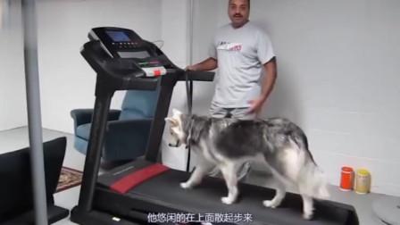 二哈是狗界败类?有人放跑步机测速度,结果不敢相信