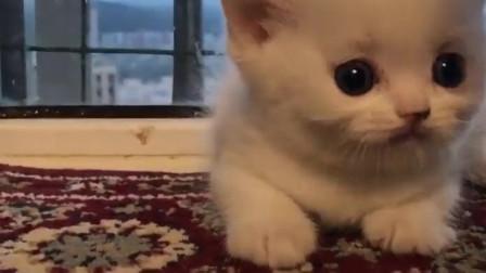 小奶猫毛茸茸的,生起气来居然这么凶啊