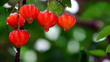 它是迷你南瓜?还是水果灯笼?都不是其实它是樱桃的一种!