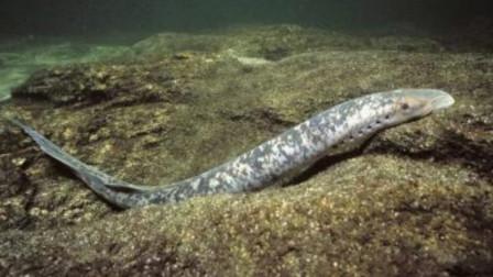 这种鱼被称为活化石 在地球已经生存了3.6亿年