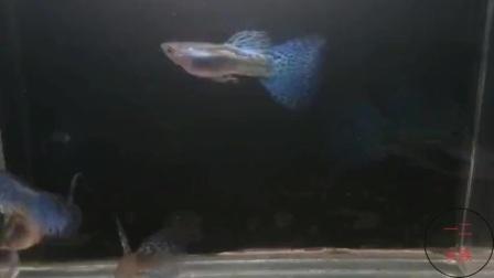 鱼市见不到这么好的孔雀鱼了,精品都在老玩家的鱼缸里