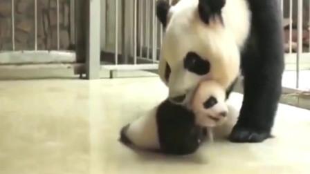 大熊猫拿熊猫宝宝当抹布拖地,遭饲养员训斥:把你的娃,抱起来