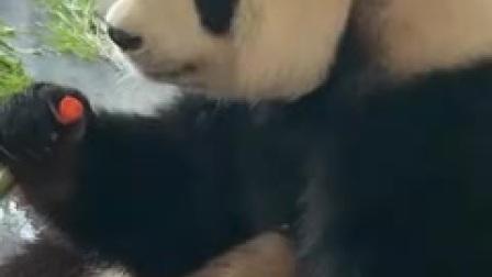大熊猫傲娇小公举妙音和胖嘟嘟