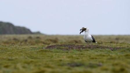 没想到海鸥居然这么残忍!端了一整窝的兔子,摄影师都看呆了!