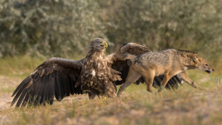 发飙的老鹰有多么恐怖?不仅敢抢狼的东西,连人类的东西也照抢不误