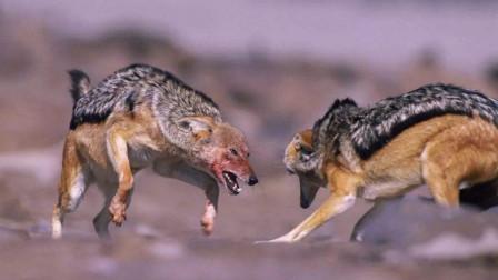 黑背胡狼和非洲疣猪pk谁厉害?非洲疣猪能打几只黑背胡狼?
