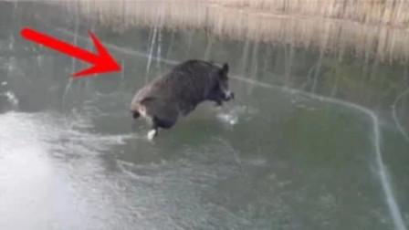 野猪误入冰面,瞬间开始怀疑猪生,被镜头拍下全过程