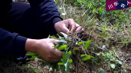 """农村荒地里很常见的一种植物,它是功效较强的中药材,名字叫""""紫花地丁"""""""