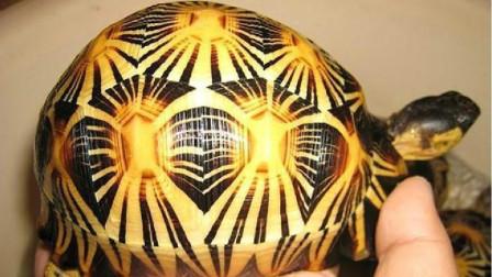动物百态 最漂亮的龟,仅一个岛有野生,华盛顿公约一级保护动物