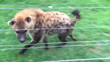非洲草原王者,狮子鬣狗都不算什么,这几位才厉害