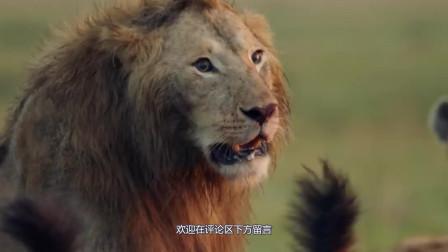 """十几只鬣狗和一头雄狮究竟谁厉害?一场""""狗狮""""大战即将开始"""