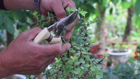 金枝玉叶养得好不好,全看造型这样修剪,长成一棵小树桩!