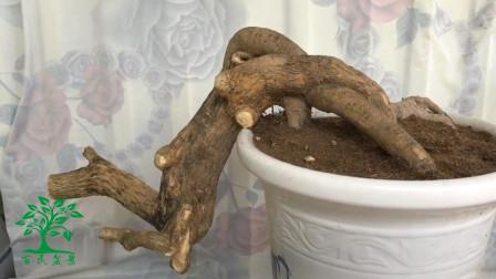 """真是""""挖到宝"""",这树桩做成盆景,呈临水式生长姿态,造型实在赞"""
